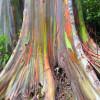 Радужный эвкалипт — цветное дерево