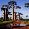 Баобабы в Африке