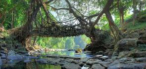 Живые мосты в Индии
