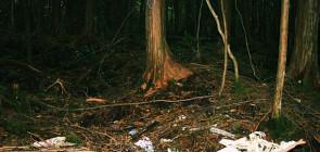 Лес Аокигахара в Японии