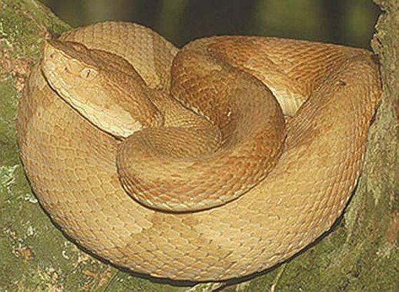 змеи бразилии