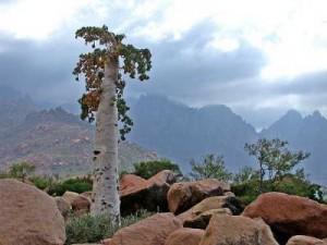 Дерево острова Сокотра