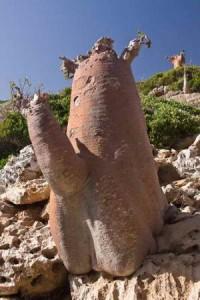 Бутылочные деревья острова Сокотра