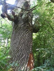 Самое старое и большое дерево Киева Бай-Бай