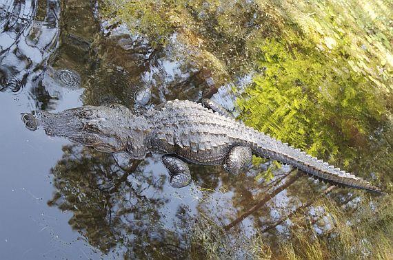 болото окефеноки крокодил