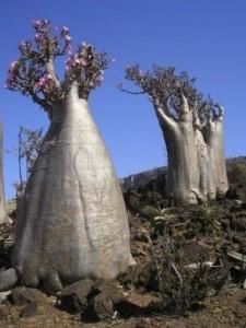 интересные деревья на острове Сокотра