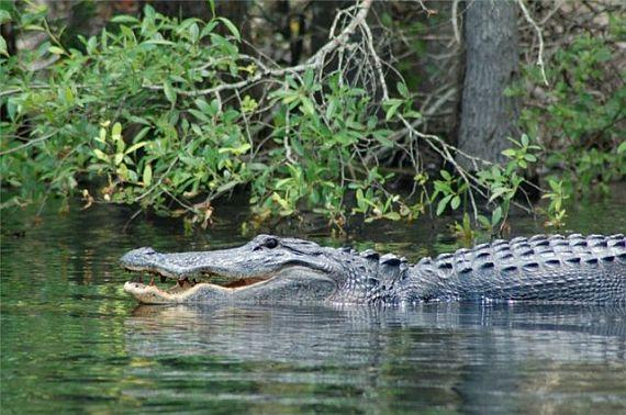 крокодил в болоте окефеноки