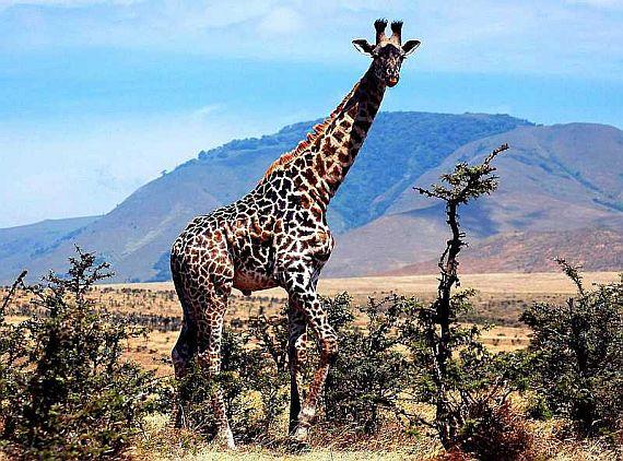Жираф серенгети парка