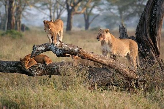 Животные национального парка серенгети