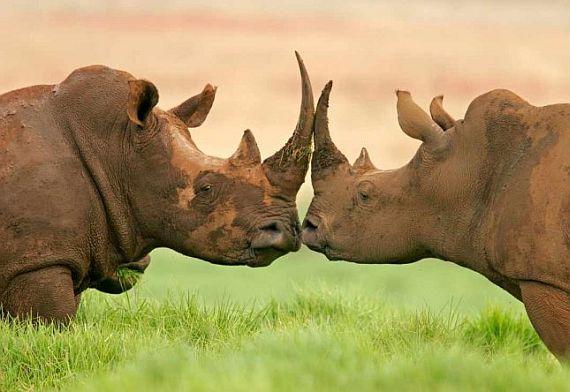 носороги серенгети парка