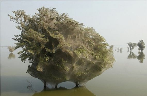 гигантская паутина на деревьях