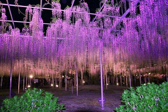 парк цветов асикага в японии