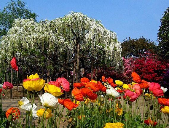 японский парк цветов асикага