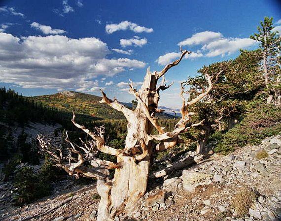 самое древнее дерево