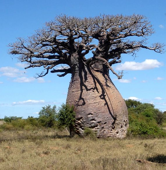 баобаб африканский