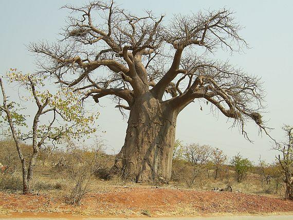 баобаб дерево
