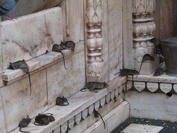 Храм крыс Карни Мата
