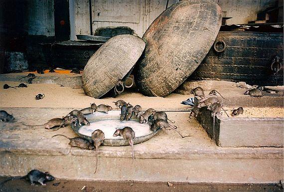 Храм крыс в Индийском городе