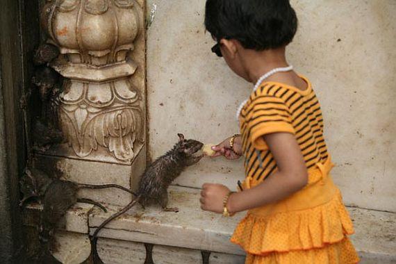 Индийский храм крыс карни мата