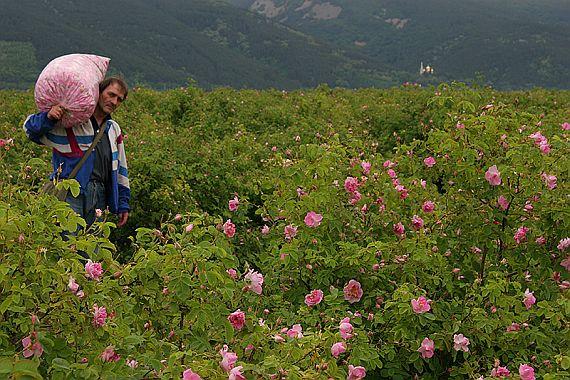 долина роз в болгарии