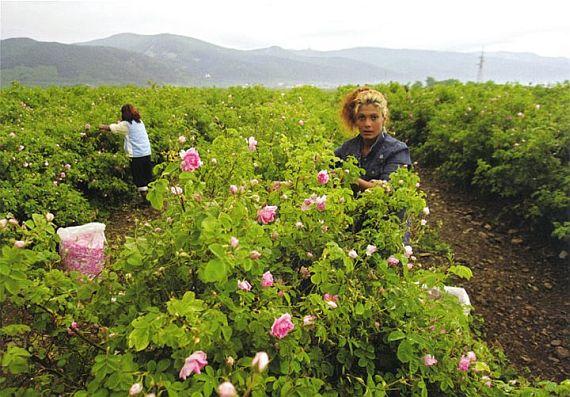 долина с розами