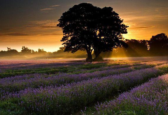 красивые лавандовые поля