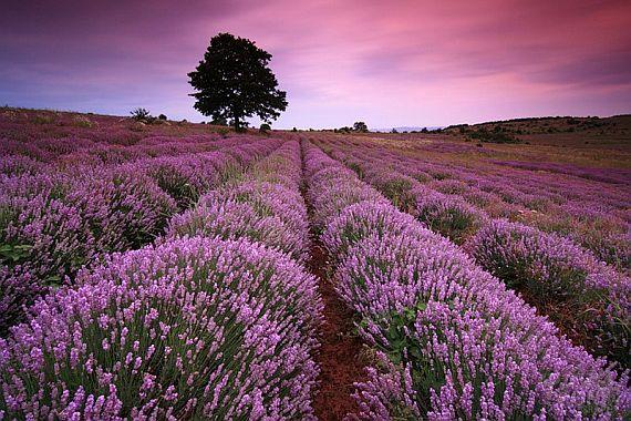 лавандовое поле франция