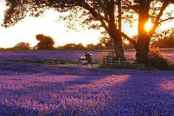 лавандовые поля когда цветут