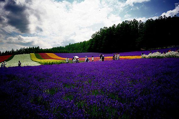лавандовые поля цветут