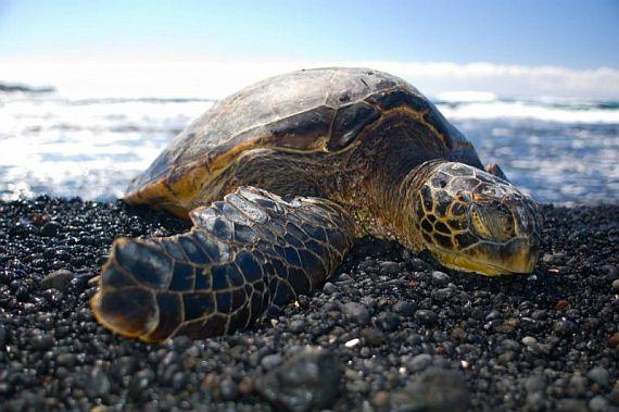 Черепаха на пляже