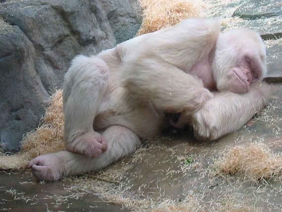 Горилла-альбинос Снежинка