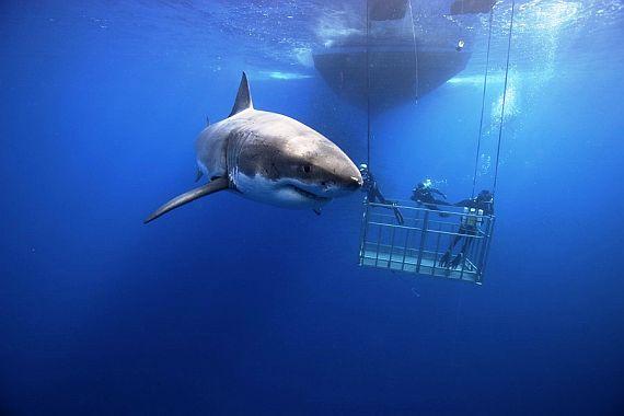 Побережье Нижней Калифорнии. Акула