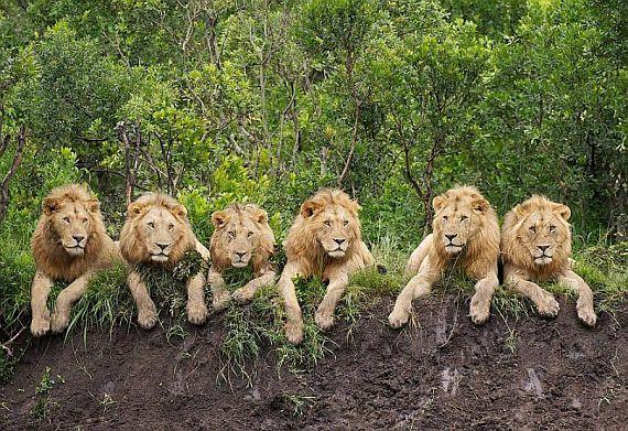 Танзания. Львы