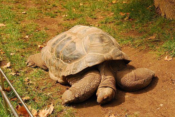 Зоопарк Барселоны. Гигантская черепаха