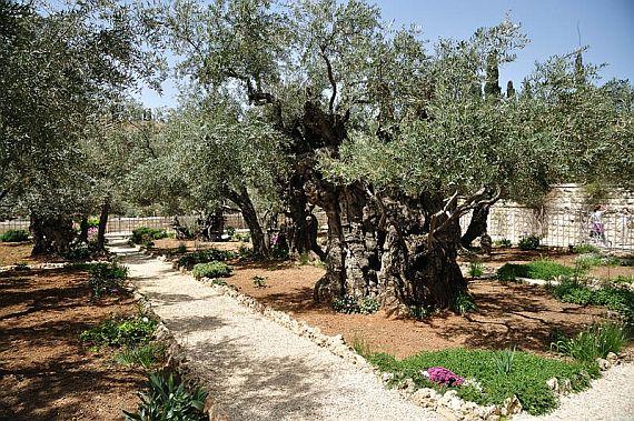 Гефсиманский сад в Израиле