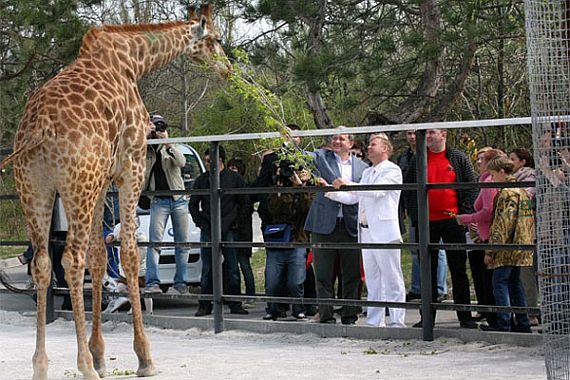 Жираф в парке Тайган