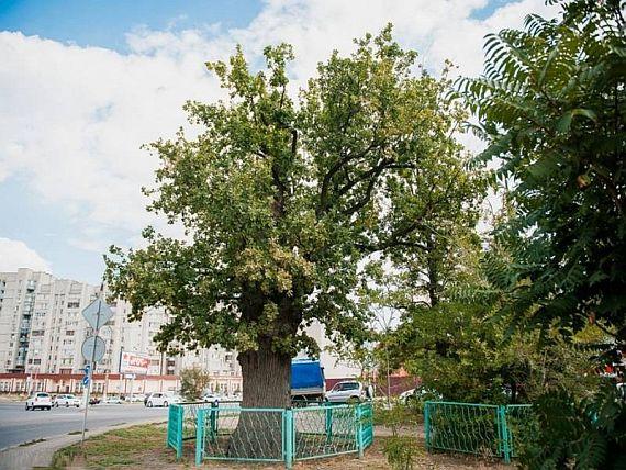 Дуб в Астрахани
